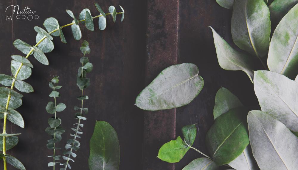 Aloe vera és eukaliptusz ízületi gyulladás ellen